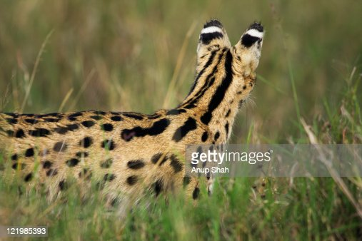 Serval female watching - rear view : Stock Photo