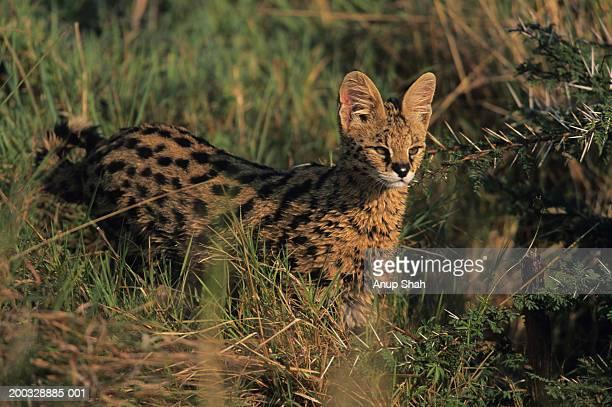 Serval (Felis serval) hunting in grass, Kenya