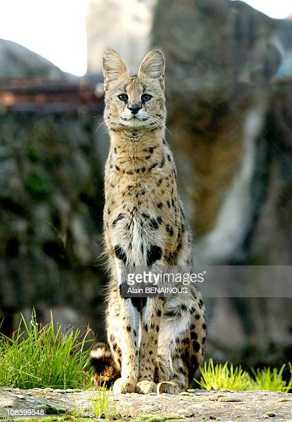 A serval in Thoiry France on September 18th 2008