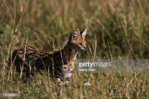 Serval : Stock Photo