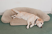 Service dog lying on a dog bed