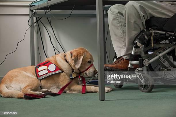 Service dog resting near a man in a wheelchair