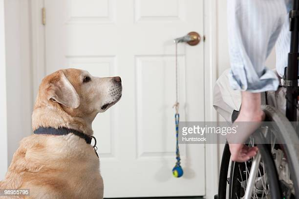 Service dog with a man in a wheelchair at a doorway