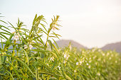 Farmland in the growth of sesame on tree in sesame plants