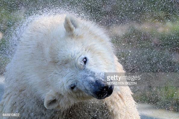 Sessi a female polar bear cub shakes water off her fur at the Mulhouse zoo on February 27 2017 Nanuq was born on November 7 2016 / AFP / SEBASTIEN...
