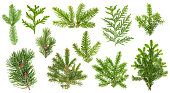 Set of evergreen coniferous tree branches. Spruce, pine, thuja, fir twigs  isolated on white background