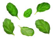 Set of basil leaves isolated on  white background. Design element for product label, catalog print, web use.