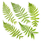 Set of fern leaves isolated on white background.