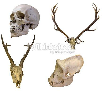 Conjunto De Cuatro Cráneo Aislado En Blanco Foto de stock | Thinkstock