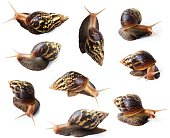 Set of Snails isolated on white background,Dark brown with yellow stripes on the shell,,Gastropoda