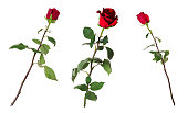 Set of three beautiful vivid red roses on long stems with green leaves isolated on white background. Flowers are shot at different angles, includung side and back view.