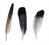 Set of three pigeon feathers isolated on white