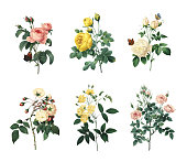 Set of 19th century illustrations of Rosa centifolia, Yellow rose, Tea rose, Rose Adelaide d'Orleans, Rose Of Bancks, Pompon rose. Engraved by Pierre-Joseph Redoute (1759 - 1840), nicknamed 'The Rapha