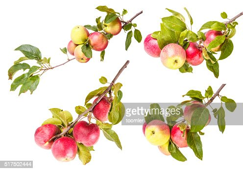 Set ripe apples on a branch isolated on white background : Stock Photo