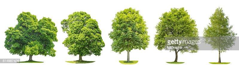 Conjunto de árvores de bordo (ácer), carvalho, bétula, castanha. Objetos Isolados : Foto de stock