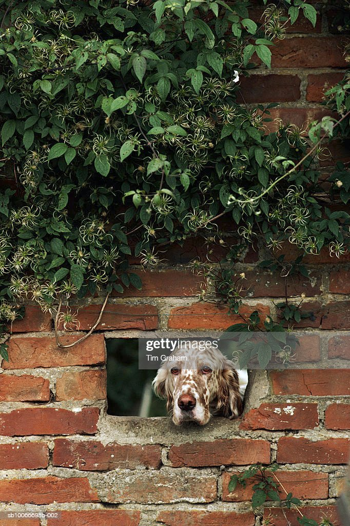 Setter Dog, United Kingdom : Stock Photo