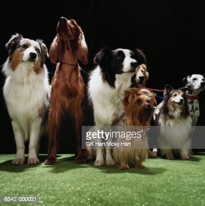 Seven Dogs on Leashes : Stock Photo