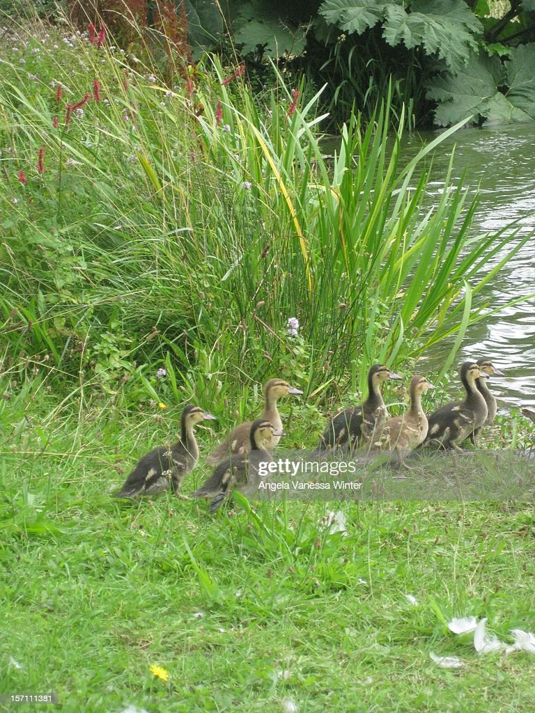 Seven ducklings heading for the water : Stock Photo