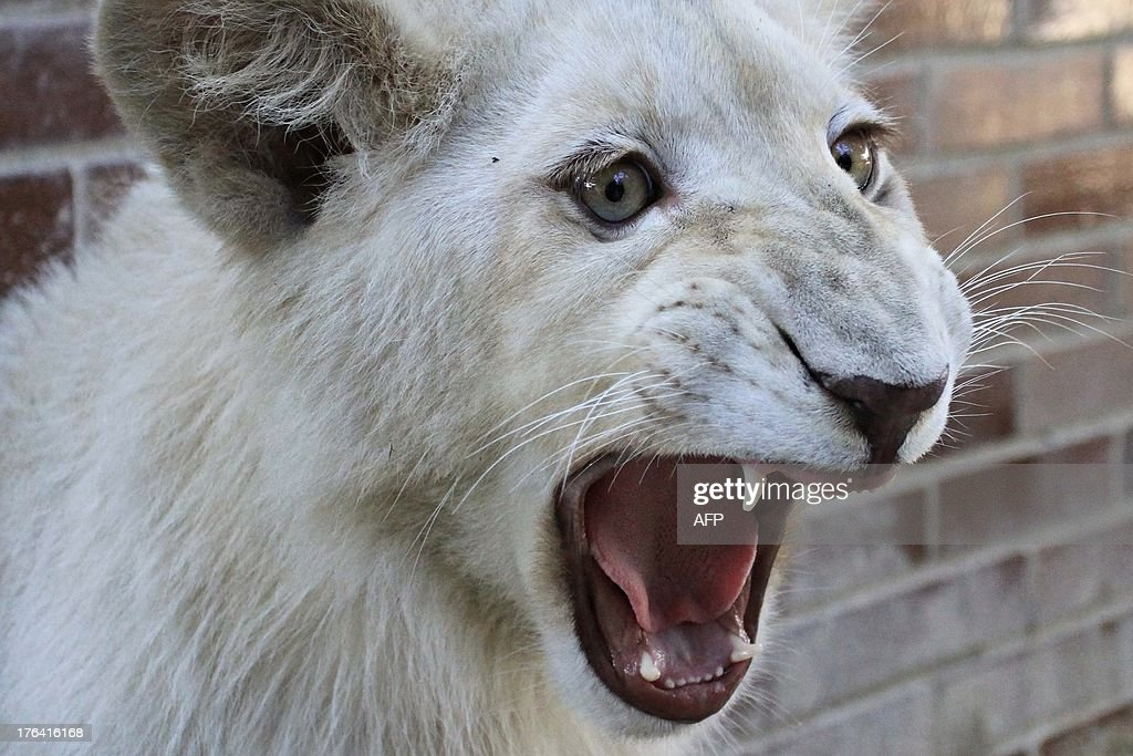 A seven months old white lion is pictured as it arrives at the zoo in Hodonin, Czech Republic, on August 12, 2013. The Bohemian Lion, a white lion on red ground, is an heraldic animal of the Czech Republic. Hodonin Zoo is the only zoo in the Czech Republic that now has a white lion.