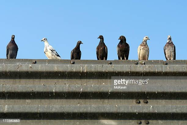 seven pigeons in a row