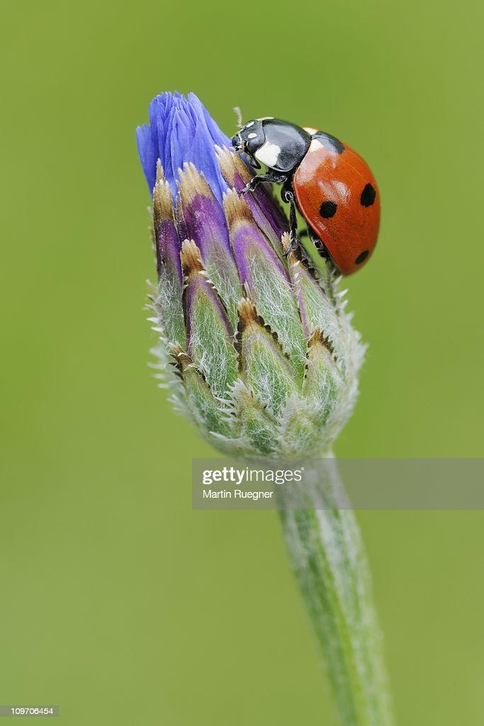 Seven spot Ladybird. : Stock Photo