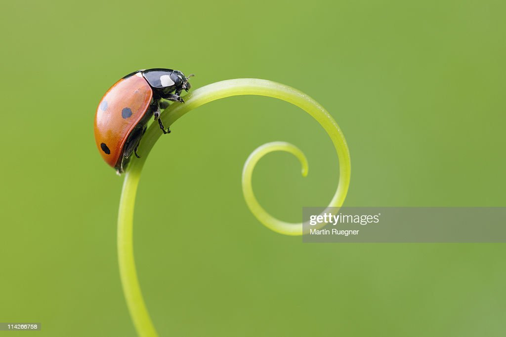 Seven spot Ladybird  (Coccinella septempunctata). : Stock Photo