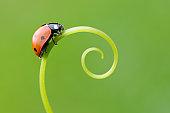 Seven spot Ladybird  (Coccinella septempunctata).