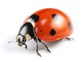 A seven spotted Ladybug on a white background