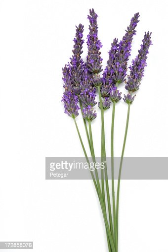 Seven stalks of isolated lavender on a white background