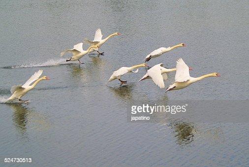 Seven swans landing