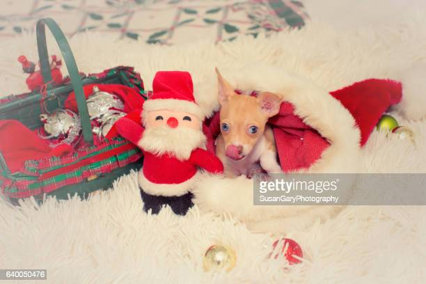 Seven Week Old Chihuahua Puppy in Santa Hat
