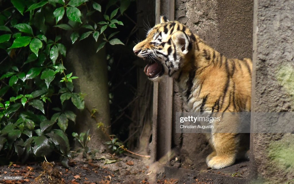Seven week old newborn Amur (Siberian) tiger cubs play with their mother Maruschka in their enclosure at Tierpark Hagenbeck on August 3, 2017 in Hamburg, Germany.