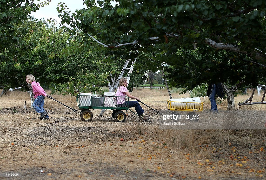 Seven year-old Village Harvest volunteer Beth Hays (L) pulls her sister eleven year-old Mandy Hays on a cart during the harvest of apricot trees at Guadalupe Historic Orchard on June 25, 2013 in San Jose, California. Village Harvest and other San Francisco Bay Area nonprofit groups are volunteering to pick excessive fruit from homeowners' yards and other plots of land to donate to food banks, soup kitchens and organizations that help the needy. Urban harvesting, or gleaning, aims to collect fruit that normally goes to waste after it goes unpicked and falls to the ground. Village Harvest has donated thousands of pounds of fruit to local organizations.