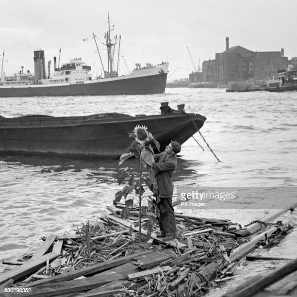 A sevenfoot sunflower with a nineinch span grows on a narrow raft in the Thames at Limehouse East London With the flower is Mr F Conn who lives in...