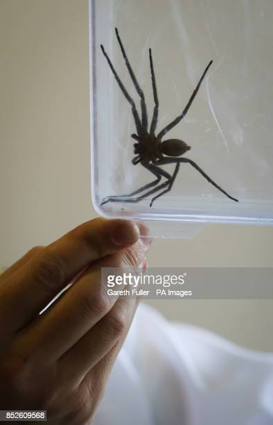 A seveninchlong huntsman spider common to Australia which was discovered in a delivery at the Seventies BMX Distribution warehouse in St...