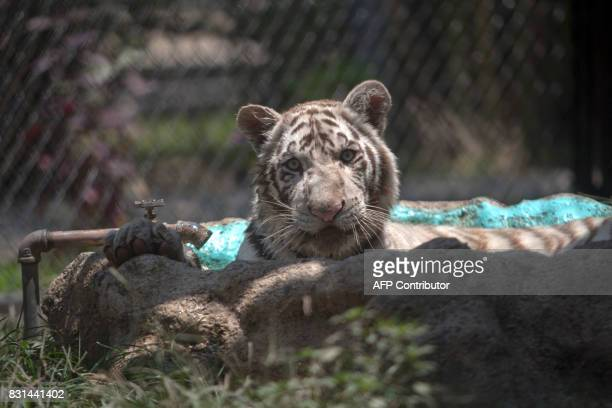 A sevenmonthold Bengal Tiger who was born in captivity and was named 'Gignac'after Tigres French footballer Andre Pierre Gignac is pictured in its...