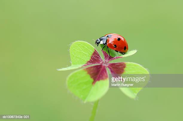 Seven-spot Ladybird (Coccinella septempunctata) at four-leaved clover