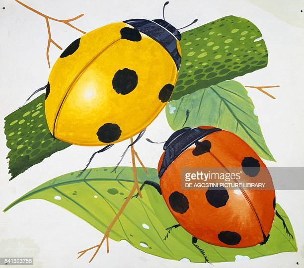 Sevenspot ladybirds or Sevenspotted ladybugs Coccinellidae drawing