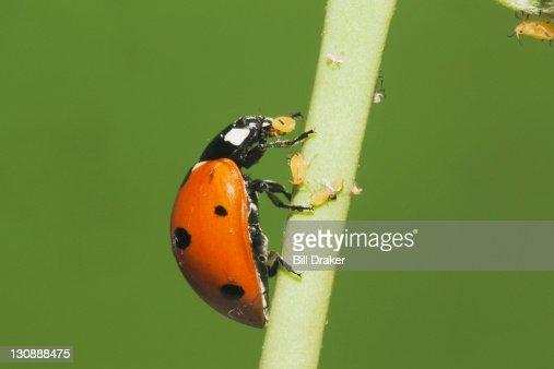 Seven-spotted Ladybug (Coccinella septempunctata), adult eating Aphids (Aphidoidea), Sinton, Corpus Christi, Coastal Bend, Texas, USA
