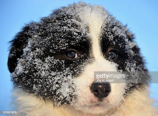 Sevenweek old Border Collie puppy rests after a play with its siblings in their garden as outdoors temperatures dropped below minus 10 degrees...
