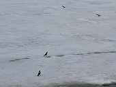 Several birds in the snow in early spring on the river Bank, in March