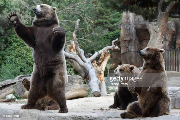 Several Brown bears pictured waiting for food at Madrid zoo