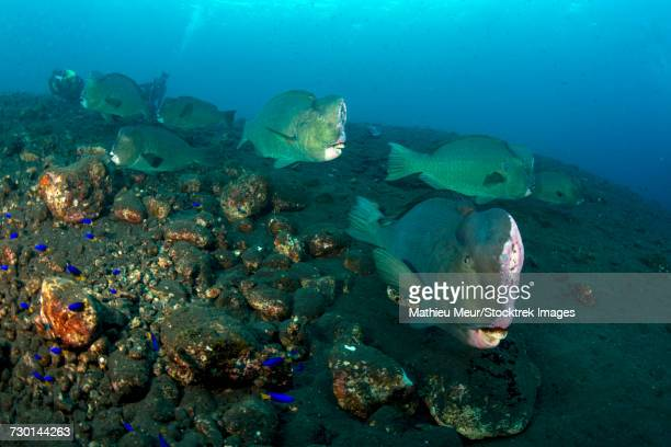 Several bumphead parrotfish swimming over black sand near the Liberty Wreck in Indonesia.