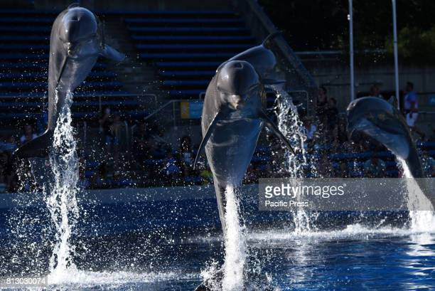 Several Common bottlenose dolphins pictured during a show at Madrid Zoo and Aquarium