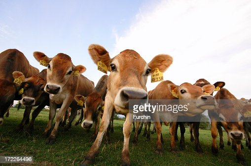 Several cows standing at the pasture : Stock Photo
