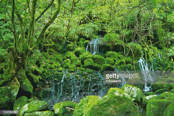 Several Little Waterfalls, Surrounded By Moss, Green Bushes and Trees, Front View, Akita Prefecture, Japan