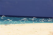 Several White Sea Gulls Flying at the Beach, the Ocean Behind Them, Maldives, Micronesia