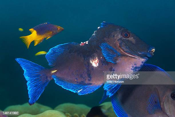 Severely injured blue tang being cleaned by a Spanish hogfish Acanthurus coeruleus Bodianus rufus Sea Aquarium Reef Curacao Netherlands Antilles