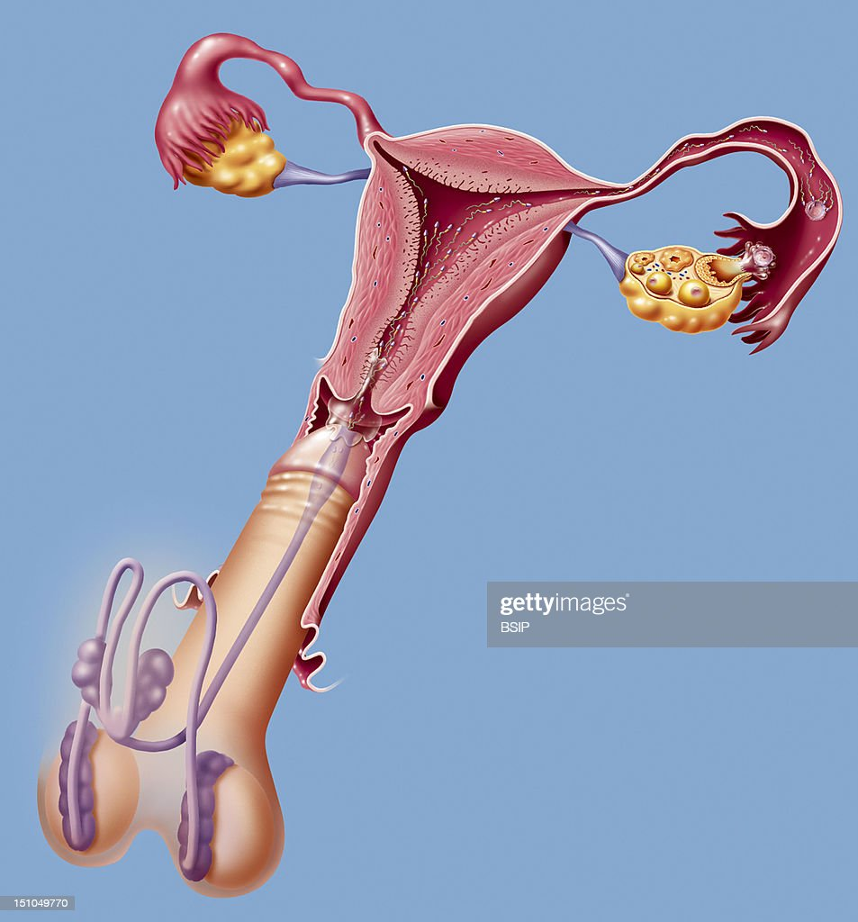 Reproductive organ during sexual intercourse and