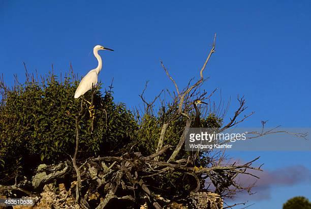 Seychelles Aldabra Island Dimorphic Egrets